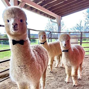 Wick Farm Alpacas